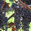 ワインブドウ収穫手摘み体験@角藤農園